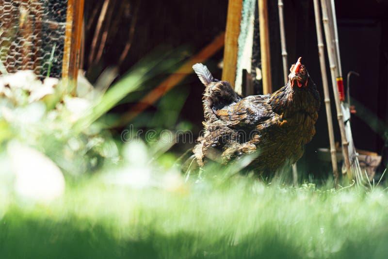 Poule mangeant le maïs et l'herbe image libre de droits