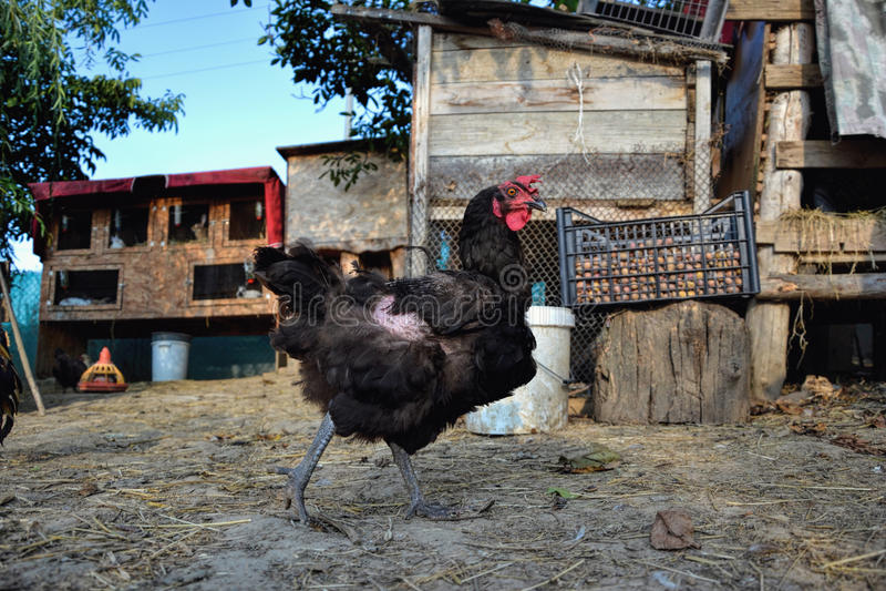 Poule marchant sur la basse-cour Jeune seul standig de poulet sur la cour de grange avec la cage de poulet photos stock