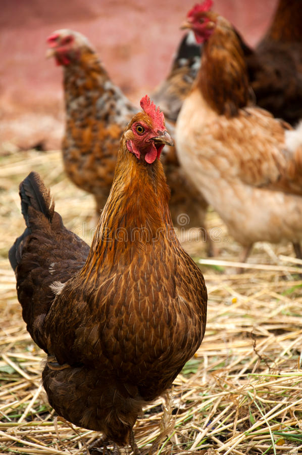 Poules image stock