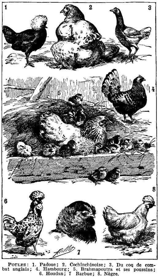 Poules Free Public Domain Cc0 Image