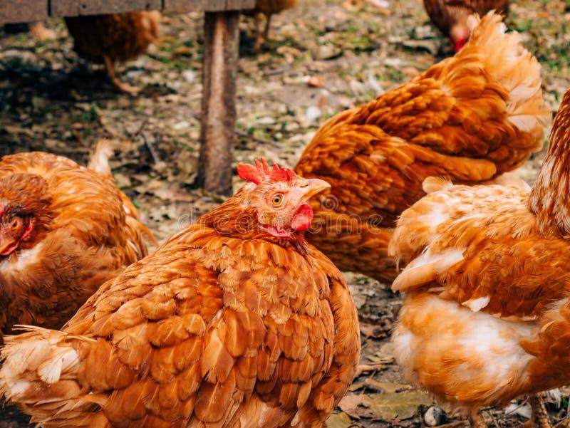 poules rouges Bien-toilettées dans le village Poulets marchant sur rural photo libre de droits