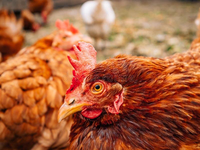 poules rouges Bien-toilettées dans le village Poulets marchant sur rural photo stock