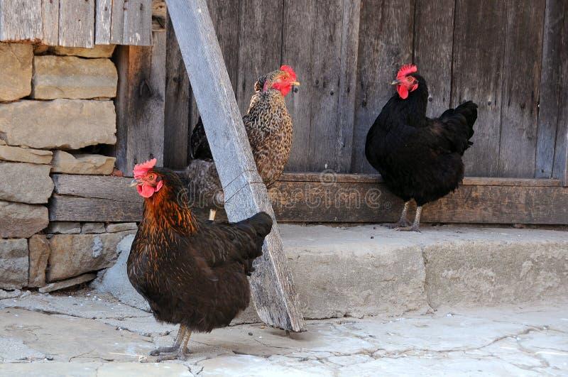 poules trois photo stock