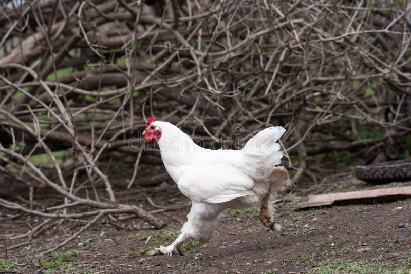 Poulet à la maison dans la cour de village Les poulets domestiques sont fermiers photographie stock