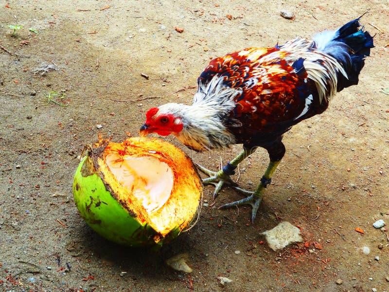 poulet photographie stock