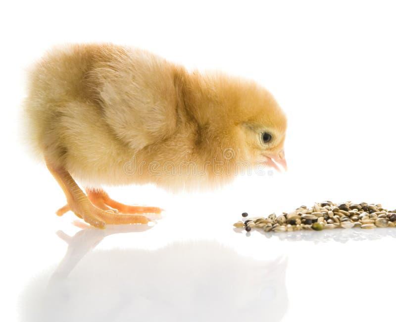 poulet photographie stock libre de droits