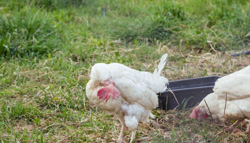 Poulet adulte blanc à la ferme, plumes de nettoyage photo libre de droits