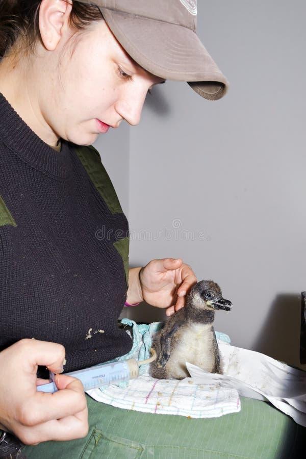 Poulet africain de pingouin photo libre de droits