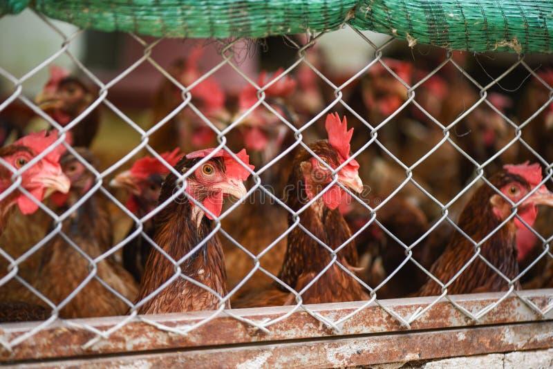Poulet alimentant dans le produit de ferme de poulet d'agriculture de cage à l'intérieur pour l'oeuf photos stock