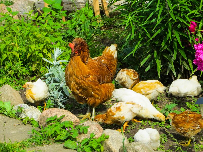 Poulet avec des poulets recherchant la nourriture parmi l'herbe dans la cour photographie stock