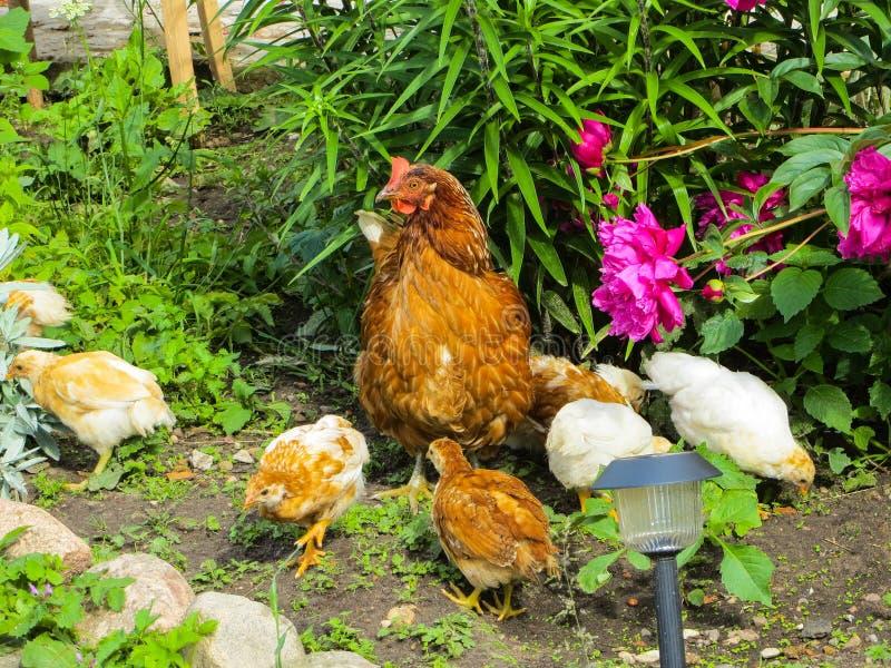 Poulet avec des poulets recherchant la nourriture parmi l'herbe dans la cour images libres de droits