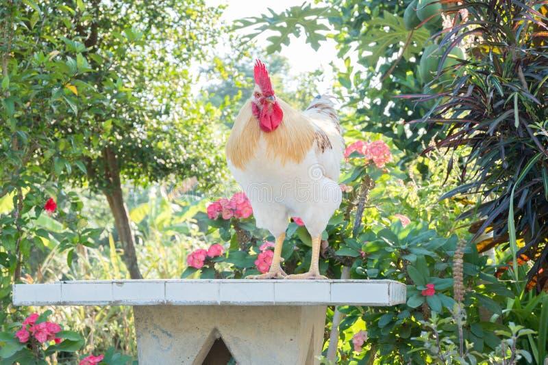 Poulet blanc photo libre de droits