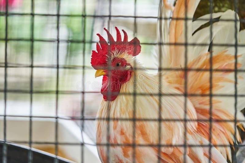 Poulet blanc et orange avec les peignes rouges dans une cage derrière la grille de fer, poule en gros plan photos libres de droits