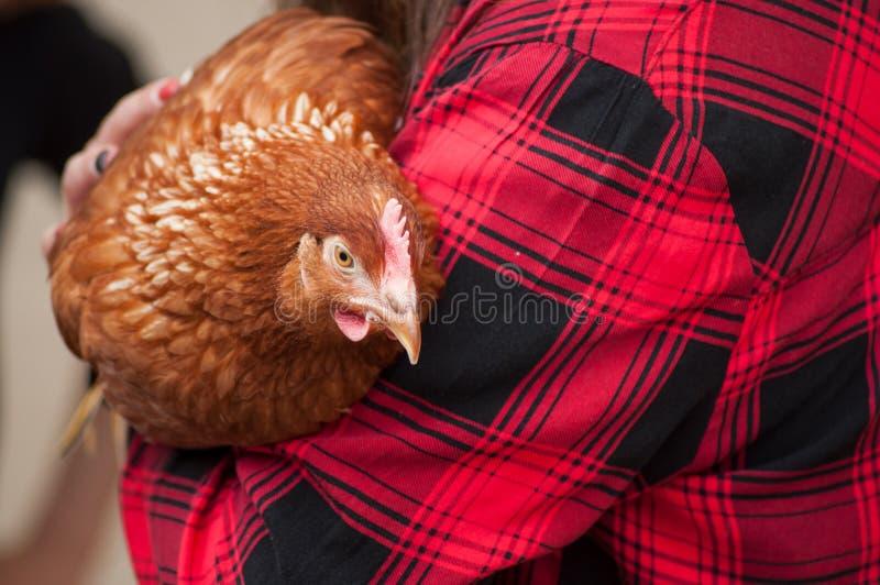 poulet dans des bras avant adoption photos stock