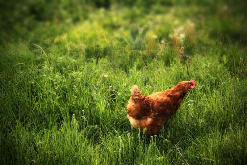 Poulet dans l'herbe photographie stock