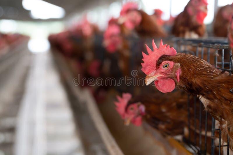 Poulet dans l'usine, poules dans la ferme industrielle de cages en Thaïlande, image libre de droits