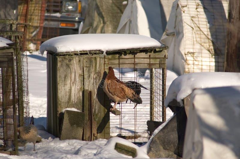 Download Poulet dans la cage photo stock. Image du perche, abri, poulet - 52316