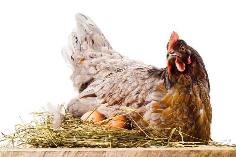 Poulet dans le nid avec des oeufs d'isolement sur le blanc photos stock