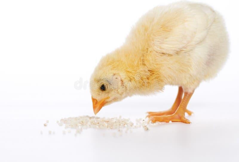 Poulet de bébé ayant un repas image stock