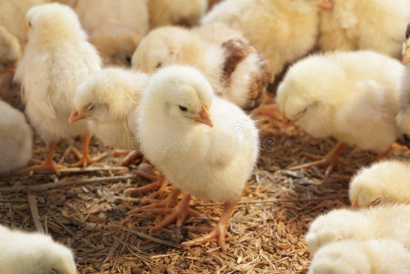 Poulet de bébé dans la ferme avicole images libres de droits