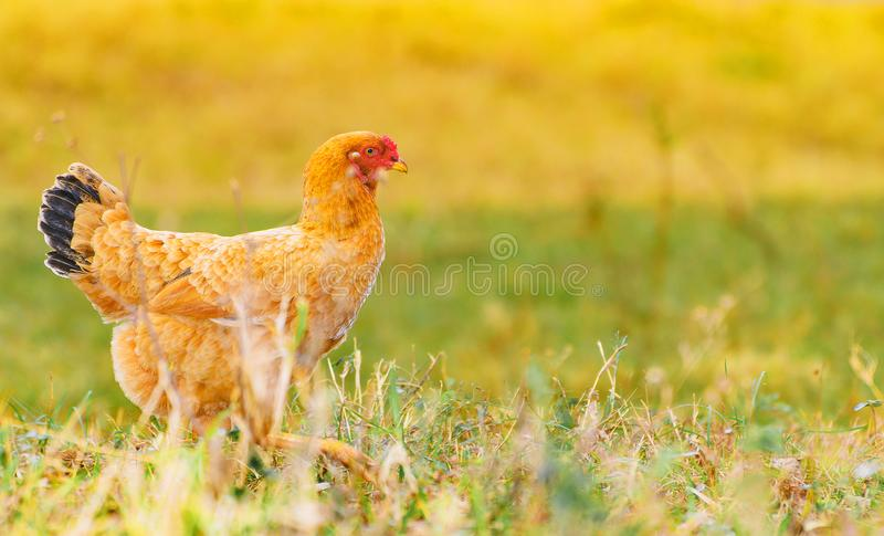 Poulet de Brown marchant sur la pelouse verte d'une ferme photos stock
