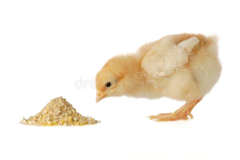 Poulet de chéri ayant un repas photos libres de droits