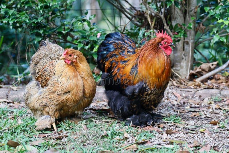Poulet de coq nain d'arrière-cour photos libres de droits