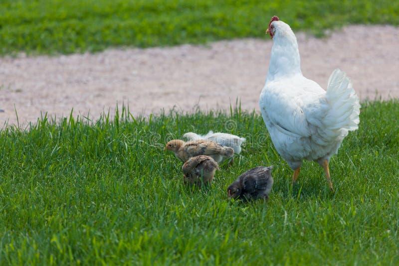 Poulet de mère avec des bébés images libres de droits