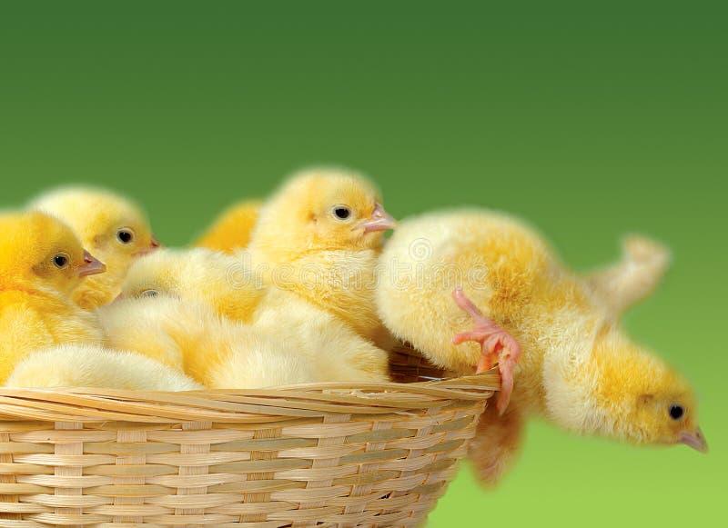 Poulet de Pâques images stock