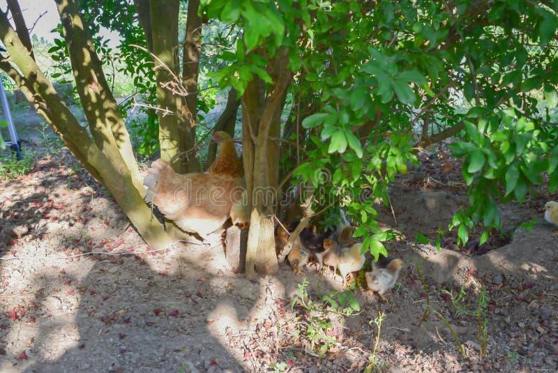 Poulet et poussins colorés Dans le jardin photographie stock libre de droits