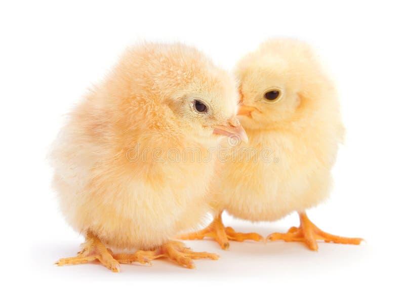 Poulet jaune de chéri photo libre de droits