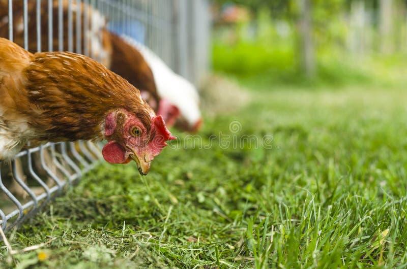Poulet mangeant l'herbe photo stock