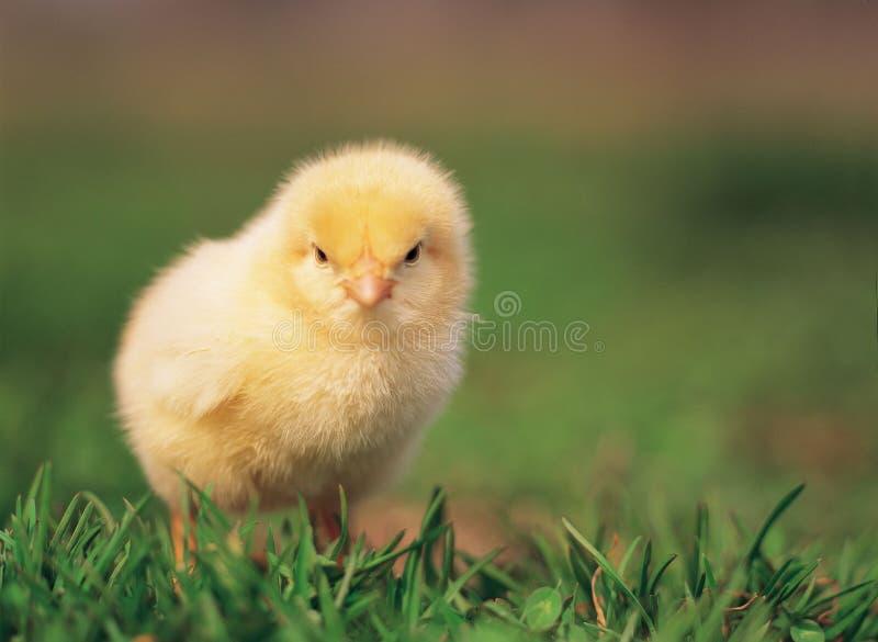 Poulet sur l'herbe