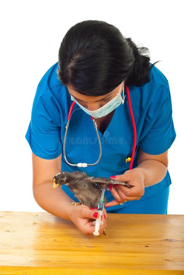 Poulet vaccinique vétérinaire images libres de droits