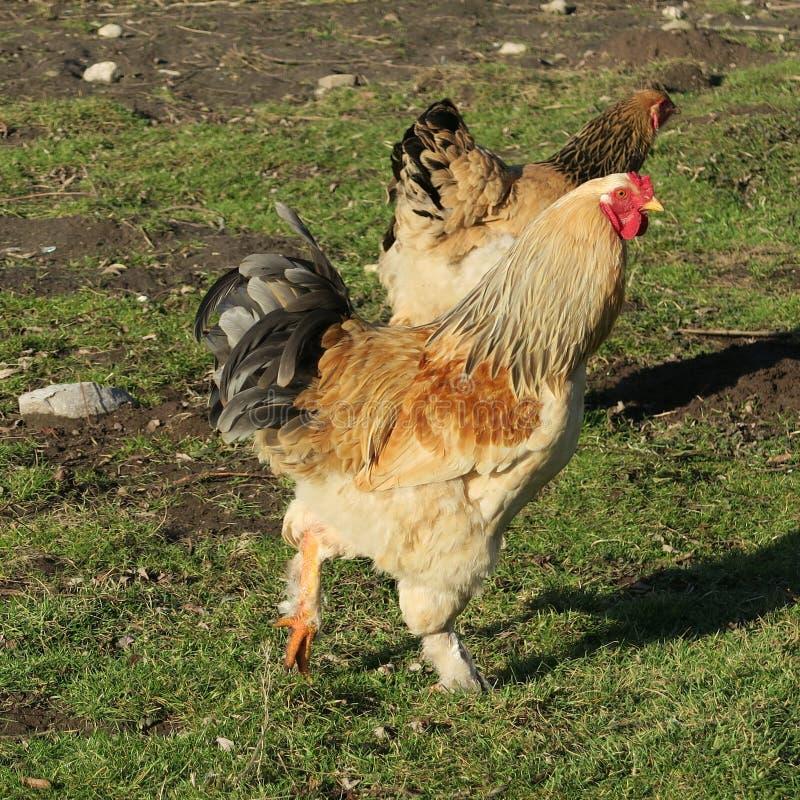 poulets au printemps dans le pré photo libre de droits