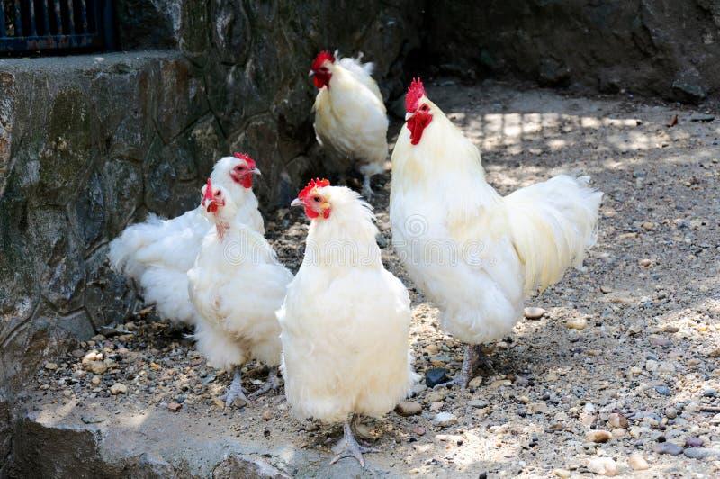 Poulets blancs photographie stock libre de droits