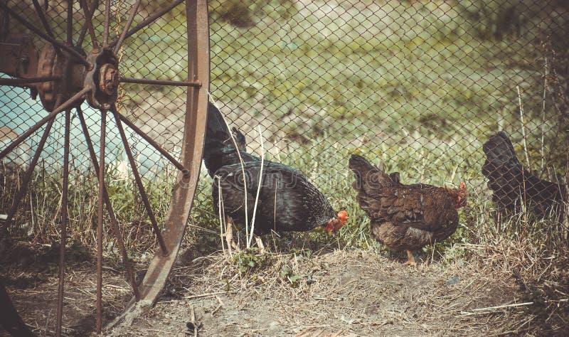 Poulets dans la cour de mère patrie photo libre de droits