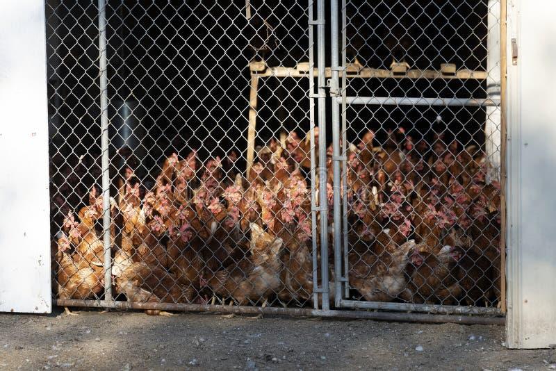 Poulets dans une clôture derrière une barrière de maillon de chaîne photographie stock libre de droits
