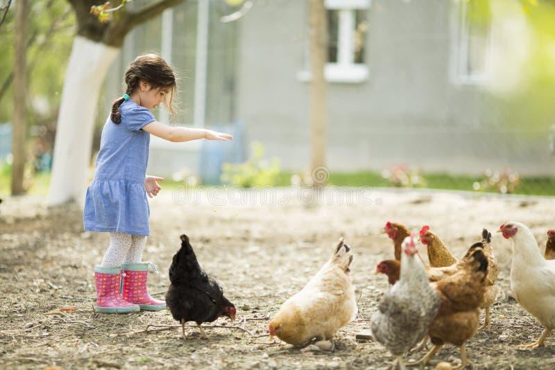 Poulets de alimentation de petite fille photo stock