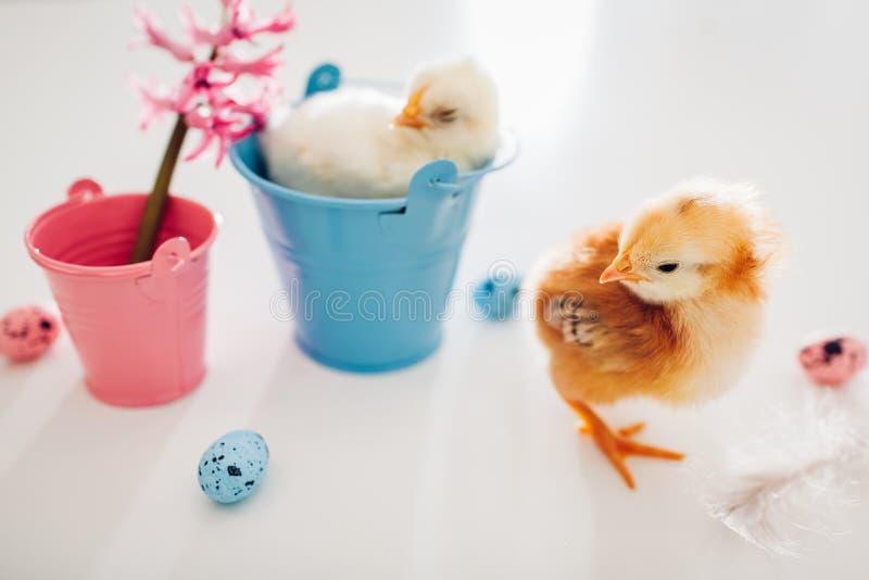 Poulets de P?ques Peu poussin jaune se reposant dans le seau tandis qu'un autre marchant parmi des fleurs et des oeufs de p?ques photo stock