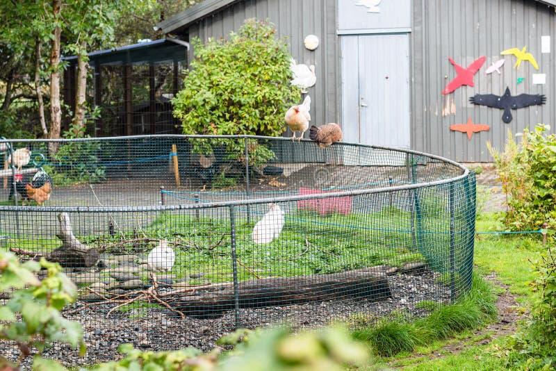 Poulets en parc et zoo de famille à Reykjavik photos stock