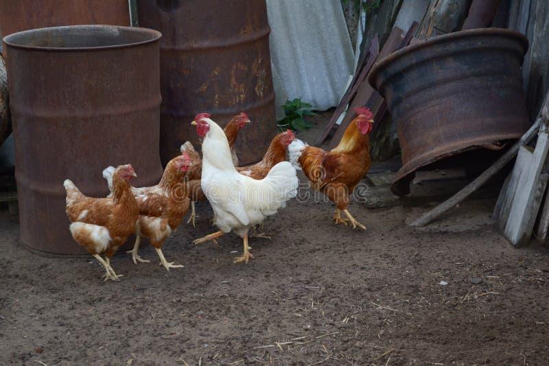 Poulets et coq dans la cour de pays - ferme agricole image stock