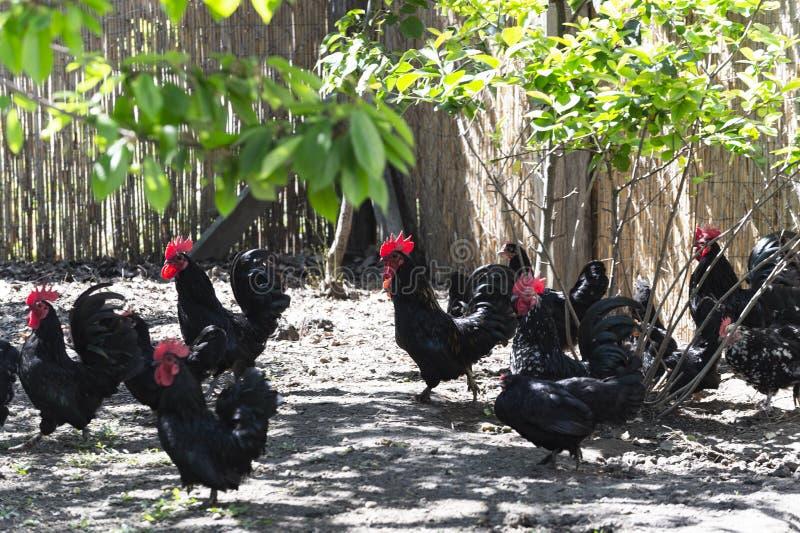 Poulets et coqs de noir de groupe dans la ferme image libre de droits