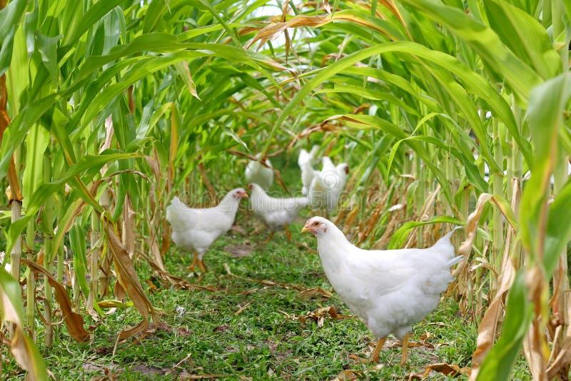 Poulets et coqs sous le maïs images stock