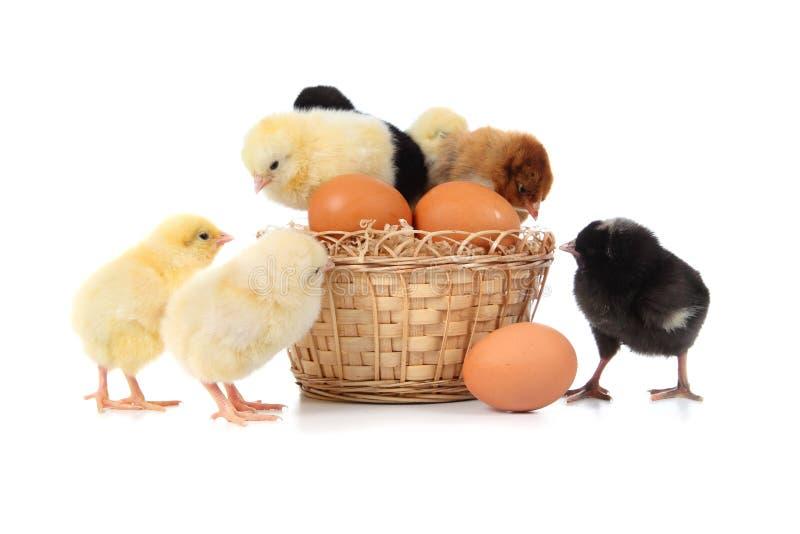 Poulets et oeufs de pâques jaunes images libres de droits