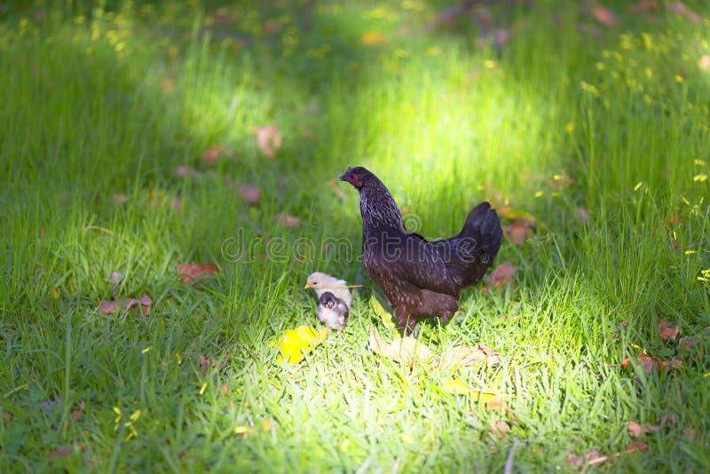 Poulets et poussins images libres de droits