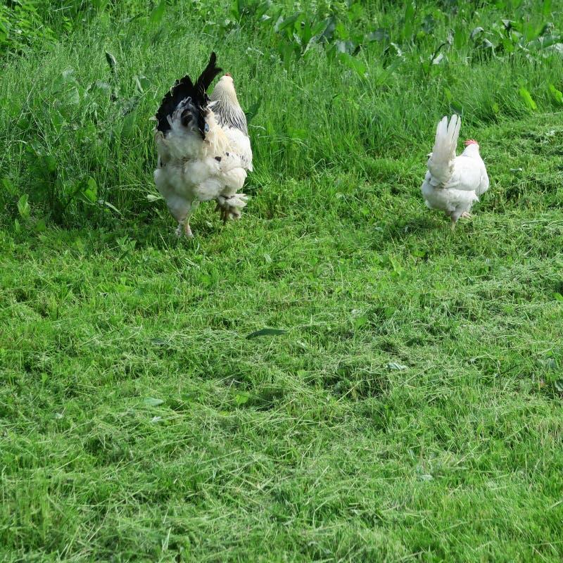 Poulets lumineux dissipés avec le coq mangeant dans la pleine herbe verte images stock
