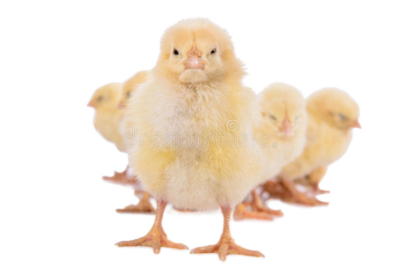 Poulets nouveau-nés d'isolement image stock