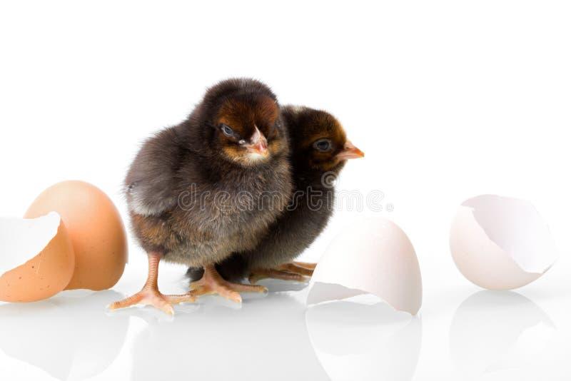 Poulets nouveau-nés noirs avec des coquilles d'oeufs images stock