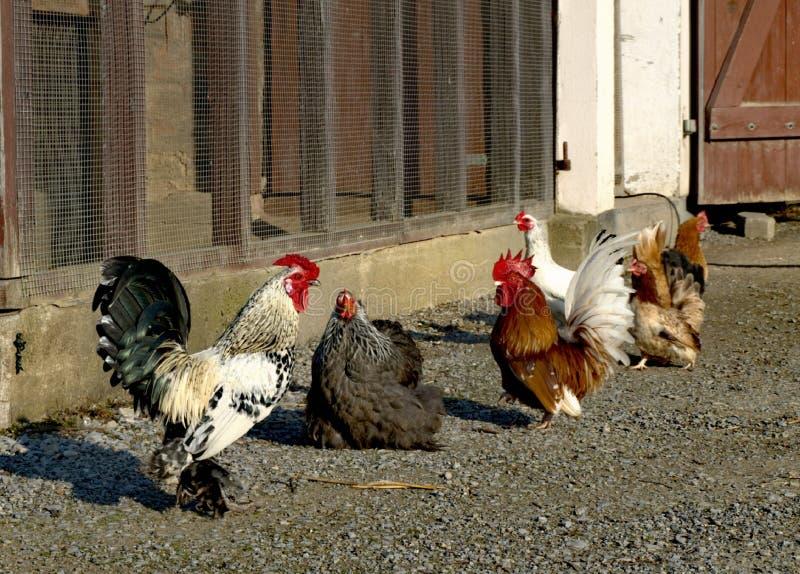 Poulets par jour d'été dans le village image libre de droits